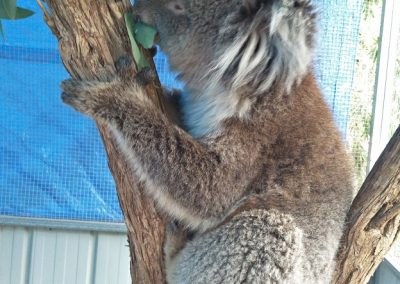 fauna-rescue-koala-05